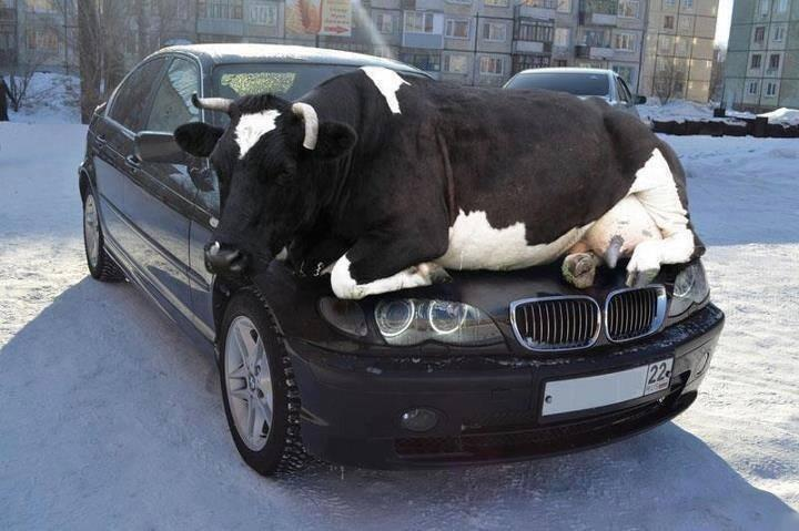 No bull, that isn't how you drive.  Silly bull.